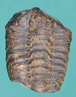 Colpocoryphae bohemica