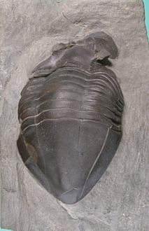 Isotelus fritzae