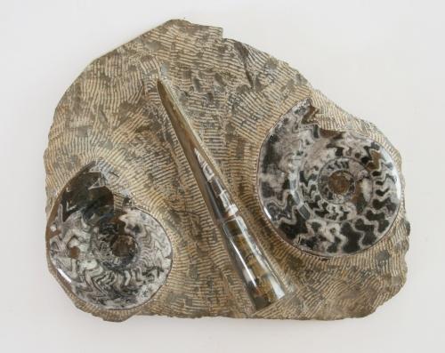 Orthoceras-Goniatite-plate
