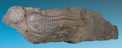 Paradoxides gracilis