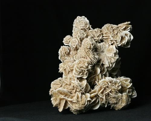 Sádrovec (pouštní růže)